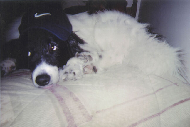 Ruffy, is a border collie cross, 7½ years old, a rescue Arlene Smith adopted three years ago. He was so quiet at first, but Ruffy owns the house now and he is a very happy dog, Arlene says. After surgery a year ago, he would not eat. Desperate, the family started to give him human food. He ballooned from 40 lbs. to 55 lbs. And while Arlene likes to take him for good long walks, she and Ruffy both think it is too cold to spend much time outside right now. Pet Valu's Fit Pet Project