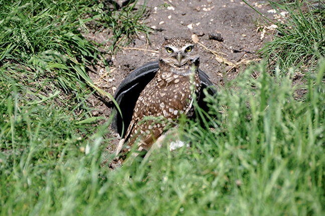 The burrowing owl is endangered in all Canadian Prairie Provinces. The Manitoba Burrowing Owls Recovery Program and the Assiniboine Park Zoo have come together to help reintroduce the population in Southern Manitoba.