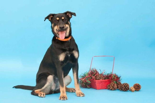 Bruce, an eight-month-old Rottweiler mix, is waiting to be adopted at the Winnipeg Humane Society.