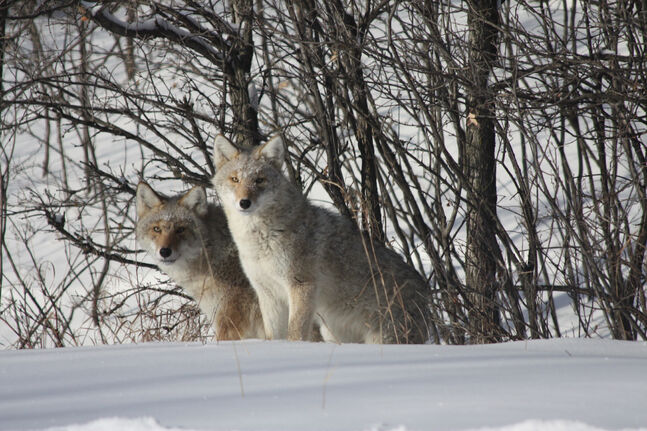 Coyotes were spotted along the Seine River in Southdale Sunday.