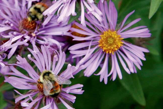 Plant some native New England Aster and the bees will come.