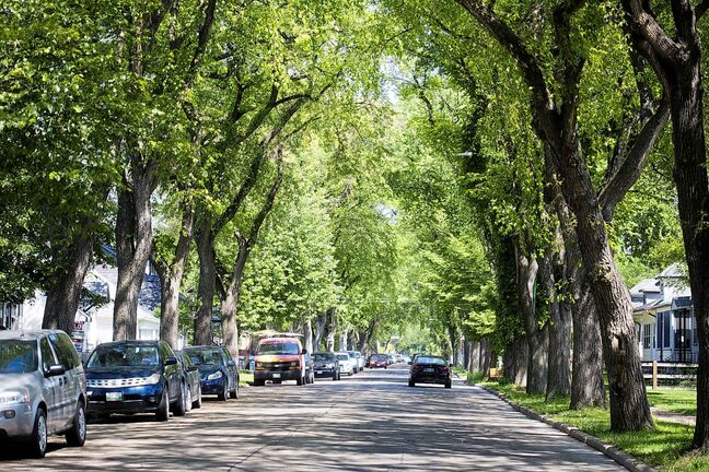 The elm canopy where aphids drip honeydew on Morley Avenue in Winnipeg.