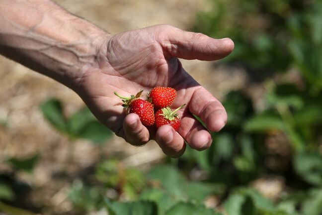 Strawberries at Hicks Berry Farm are much smaller this season than they have been in recent years. Excessive heat and heavy rain are suspected to be the culprits.
