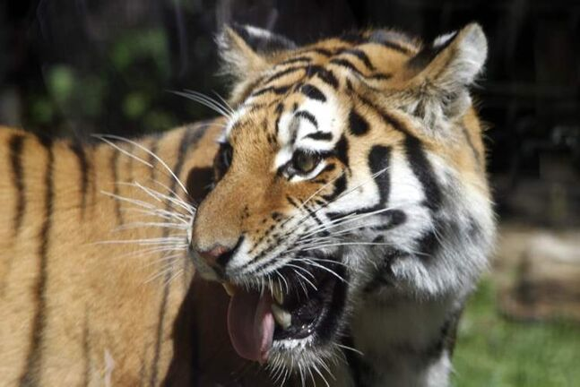 The existing Amur tiger exhibit will be expanded to encourage breeding as part of Linda McGarva-Cohen's and James Cohen's donation to the zoo.