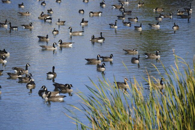 A stormwater retention basin in Riverbend, just off Main Street south of the Perimeter Highway, has always attracted a large population of geese. For the last 10 days, a bacterial bloom fed by goose excrement, has emitted an odour much more foul than ever before according to nearby residents.