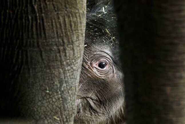 A new born Asian elephant calf Anachli with her mother, at the official presentation at the Zoo in Berlin. Anachli was born on Sunday. (AP Photo/Markus Schreiber)