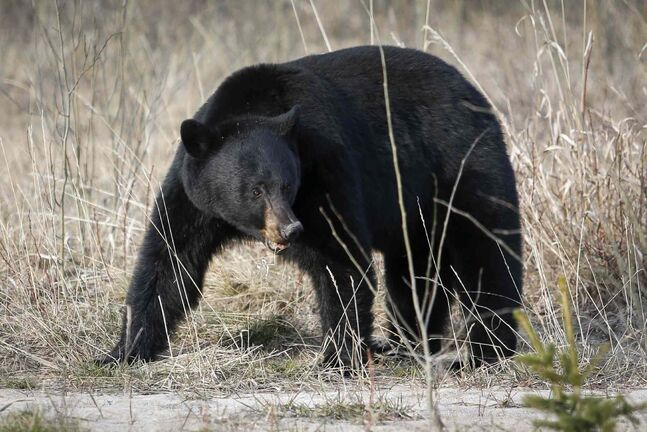 A black bear forages for food in Jasper National Park, Alta., Wednesday, May 7, 2014.
