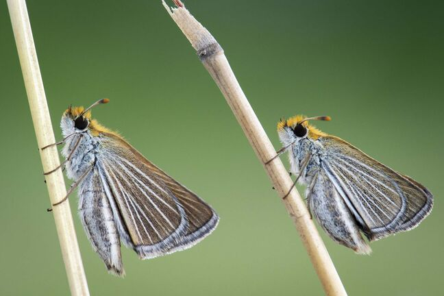 SUPPLIED</p><p>These two female Poweshiek skipperling butterflies bred and reared by the Assiniboine Park Conservancy Nature Conservancy were released into the Nature Conservancy of Canada's Tall Grass Prairie Natural Area in southeastern Manitoba.</p>