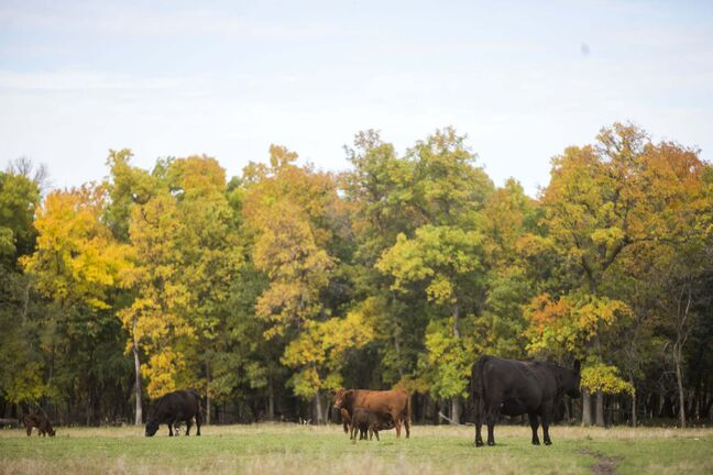 Cows at the family farm just outside of Portage la Prairie.</p>