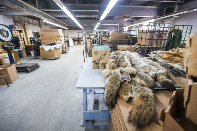 The Fur Harvesters Auction took over in the same building after North American Fur Auctions shut down its Winnipeg location. (Mikaela MacKenzie / Winnipeg Free Press)