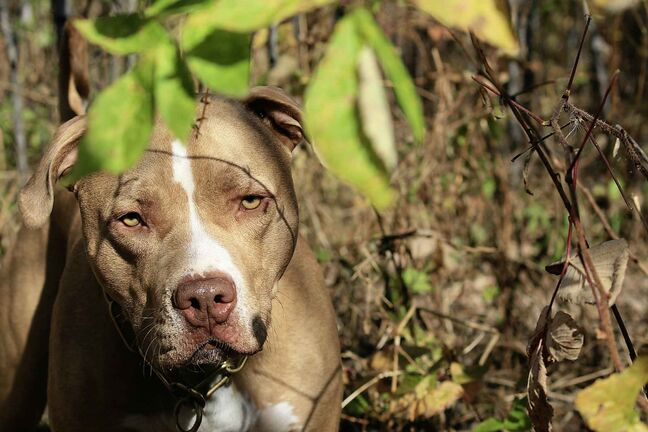 An American Pit Bull Terrier.
