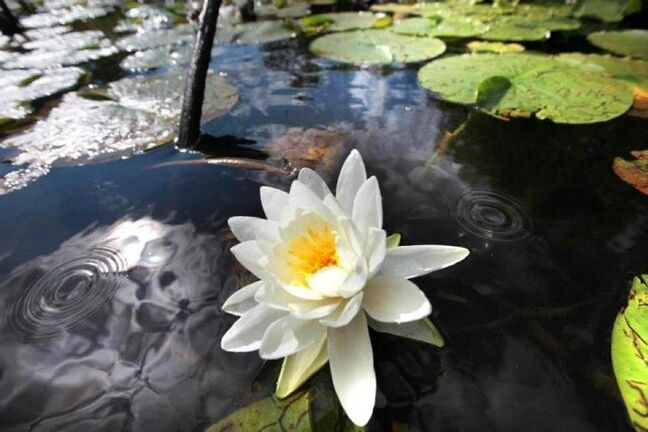 A water lily in full bloom floats in a inlet along the shores of Dog Tooth Lake in Ontario. 