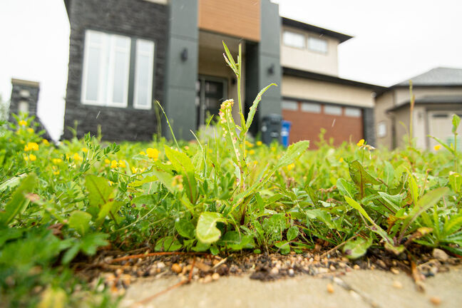 An infestation of weeds grow out of an unfinished yard in Bridgewater as a result of delayed landscaping.