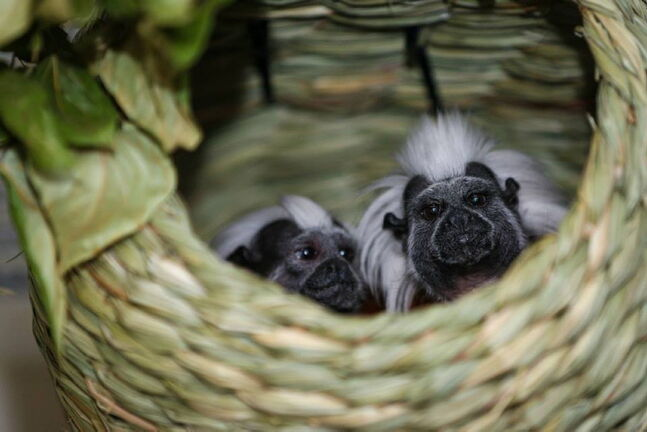 July 24 -- Two cotton-top tamarins will take refuge in Assiniboine Park Zoo from Calgary Zoo following last month's flood. (SUPPLIED PHOTO) METRO