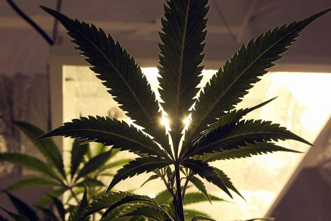 Medical marijuana being produced in Winnipeg by Delta 9 Bio-tech is worth $3 million.