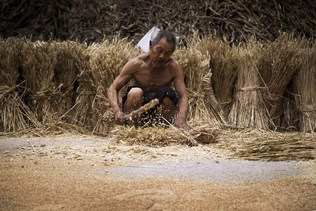 An elderly man works in wheat fields near the house where blind activist Chen Guangcheng was under house arrest, at Dongshigu village in Shandong province, China, Friday, June 8, 2012. Cameras and security guards that kept Chen under house arrest have gone, but fear lingered among residents of his village Friday and even his mother advised him not to come home. Residents were still scared of the local officials and of their fellow farmers who enforced the surveillance.