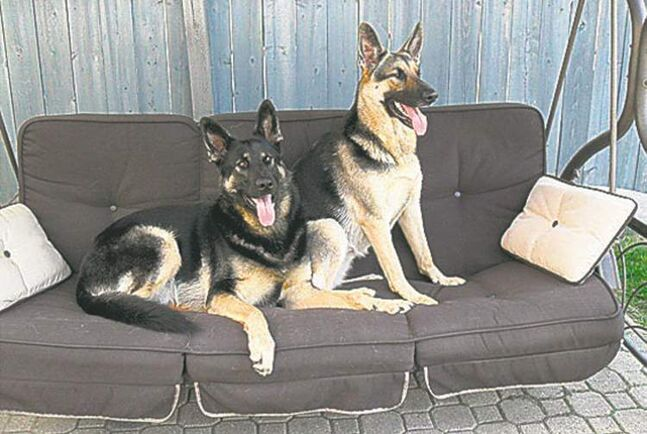 Here are our four-year-old German Shepherds, brother and sister Nevada and Tahoe, relaxing on the swing. — Michael Sopher