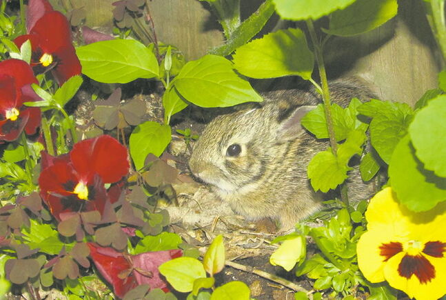 This mother bunny set up house in one of Barb Sparling's flower beds.