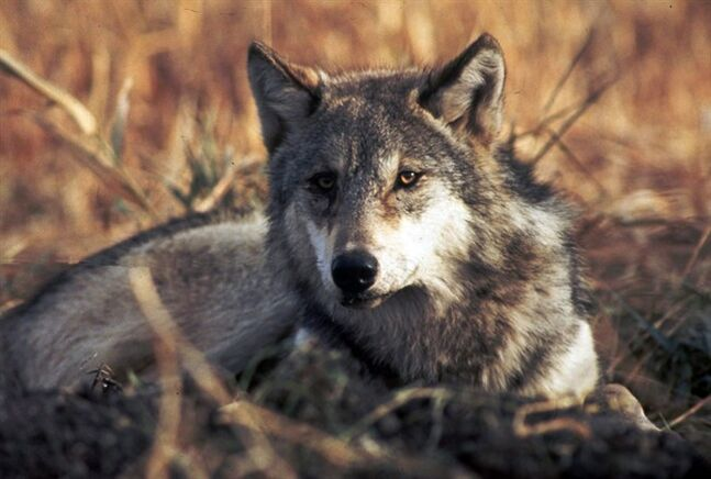Panel says no to lifting endangered species protection for grey wolves in the U.S.
