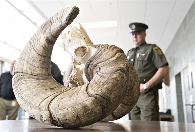 Fish and Wildlife officer Dennis Prodan looks over the skull of a bighorn sheep found near Hinton, Alta., in Edmonton on Tuesday, April 22, 2014. Wildlife officials in Alberta think they've found the big one. They believe a set of spiral horns on the skull of a bighorn sheep found east of the Rocky Mountains will set a new world record.