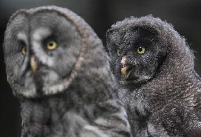 A ten week old female Great Grey owlet (Strix nebulosa), right, sits behind her mother in its enclosure at Berlin Zoo in Berlin, Germany. (AP Photo/Gero Breloer)