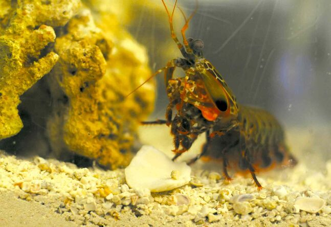 A peacock mantis shrimp attacks prey with a clubbing appendage that moves 50 times faster than the blink of an eye.