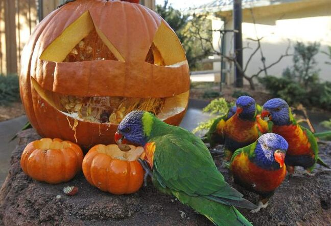 A Lorikeets parrot pulls treats from a carved pumpkin during an animal enrichment program at the Oklahoma City Zoo in Oklahoma City.