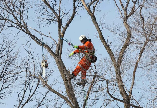 Certified utility arborist Derek from Asplundh Tree Expert Co. does some high angle tree removal on a elm tree infected with Dutch elm disease Wednesday morning on Lamont Boulevard.