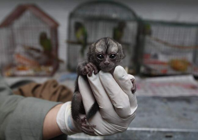 A 15-day-old night monkey sits in a veterinarian's palm. (AP Photo/Fernando Vergara)