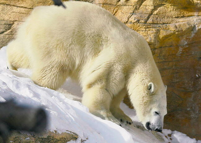Hudson the polar bear will no doubt be a major attraction at the Assiniboine Park Zoo this summer.