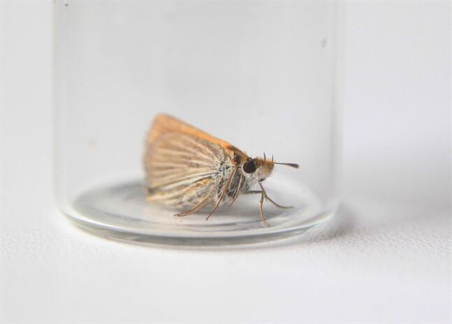 An endangered prairie butterfly is shown in a vial near in Manitoba in this July 12, 2013, handout photo. THE CANADIAN PRESS - Mike Dembeck, Nature Conservancy of Canada