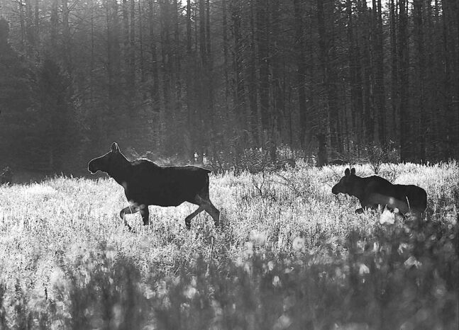 A cow moose and her calf are seen in Riding Mountain National Park.
