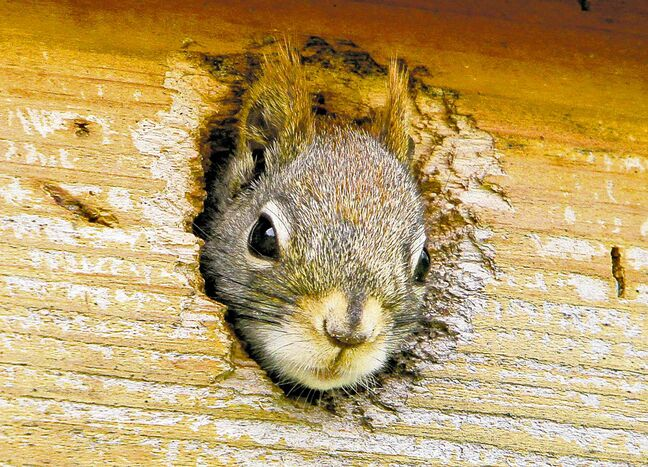 Dealing with uninvited guests, such as squirrels, should be left to trained professionals in order to avoid tragedy for amateurs.