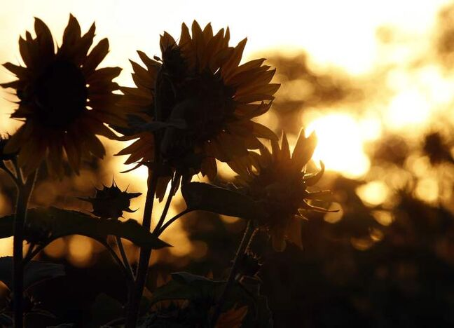 The sun rise over sunflowers in the St. James Gardens Friday.  The high  today is expected to reach 29 C.