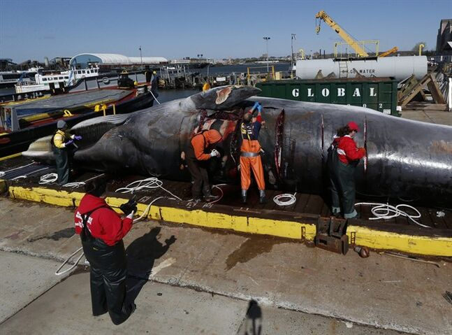 FILE- In this April 16, 2014 file photo, marine biologists conduct a necropsy on an over 55 foot long finback whale on a dock in Jersey City, N.J. The whale was found stuck on the bow of a container ship in the harbor on April 12, and later towed to an Army Corps of Engineers station near Liberty State Park. The frequency of whale strikes is higher than normal for this part of the year according to the National Oceanic and Atmospheric Administration. (AP Photo/Julio Cortez, File)