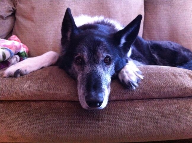 This is Tai, at 14, the senior dog in the Casemore household. Tai is a black border collie/ German shepherd cross. Tai weighs 29.8 kilos, a healthy weight, says owner Alexis Casemore.  Pet Valu's Fit Pet Project