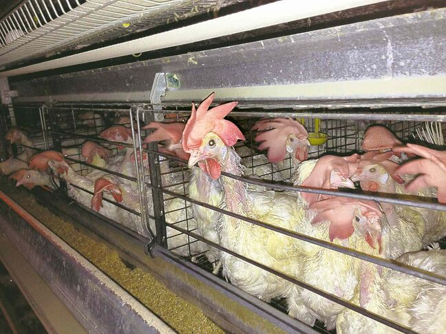 Using a hidden camera, Mercy For Animals Canada recorded alleged acts of animal cruelty at two Alberta egg farms.