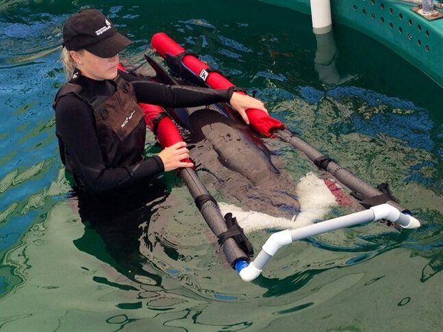 Vancouver Aquarium veterinary technician Jenelle Hebert circulates a false killer whale calf through a pool at the Vancouver aquarium???s Marine Mammal Rescue Centre on Friday July 11, 2014. THE CANADIAN PRESS/Dene Moore