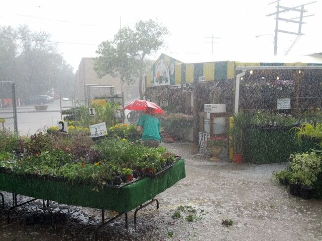 A hailstorm pelts plants and one unlucky person outside the St. Leon Garden Centre Monday.