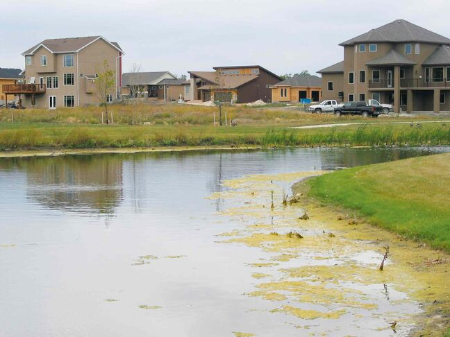 Algae lies on one of three retention ponds in Headingley's new Deer Pointe  subdivision.
