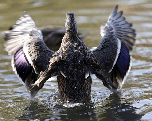 A mallard duck flaps its wings in the duck pond.