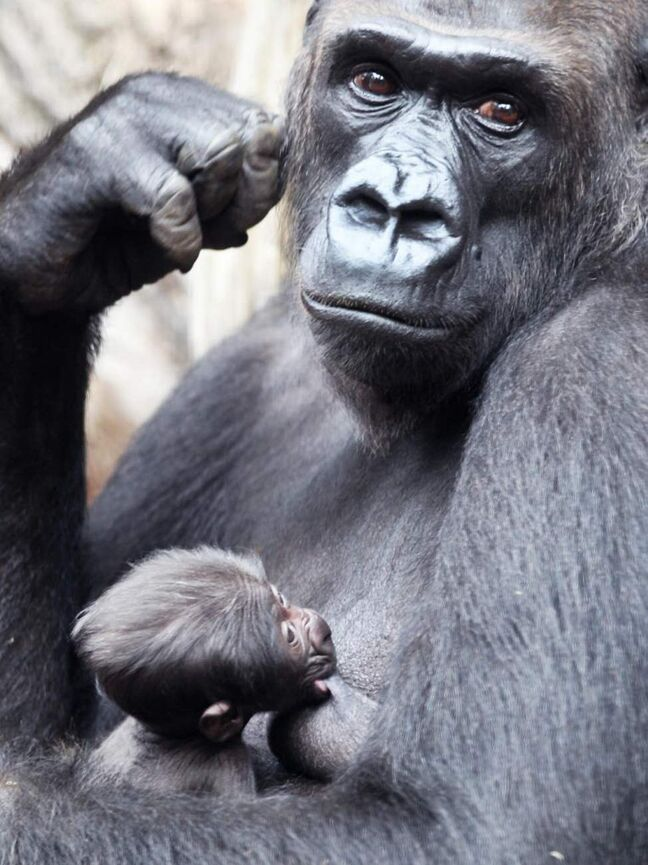 A three-day-old baby gorilla drinks from the breast of its mother Rebecca in Frankfurt Zoo, Germany. The gender and name of the Low Highland Gorilla baby are still unknown. (AP Photo / Michael Probst)