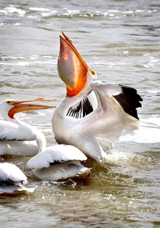 A pelican swallows a fish it just caught on the Red River May 23. Some photographs are amazing because of their uniqueness, and I've never seen anything like this before. Perfectly executed backlight details this big bird's lunch.  (Ruth Bonneville/Winnipeg Free Press)