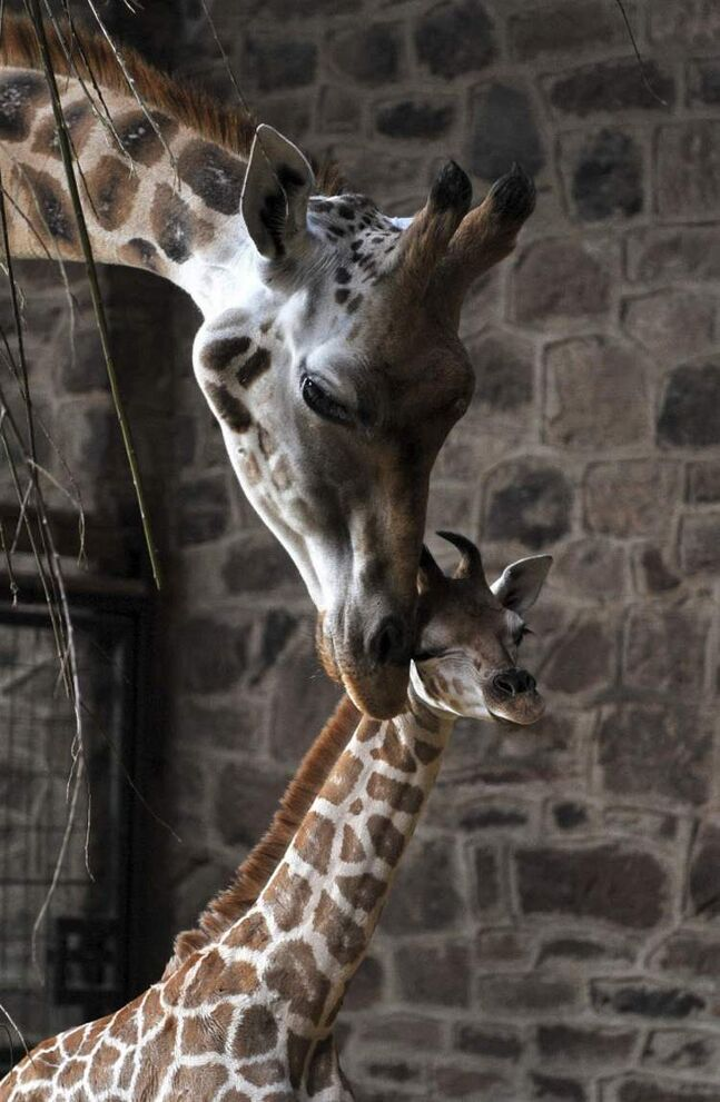 A 10-day-old Rothschild Giraffe calf is nuzzled by mother Dagma after a health check Friday at the Chester Zoo in Cheshire, England. The calf has not yet been named.