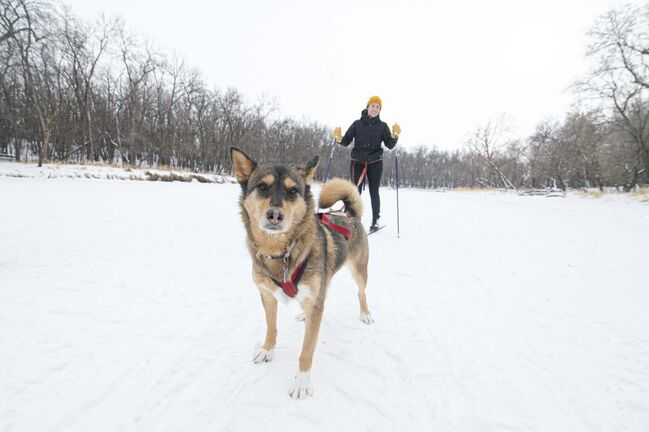 Skijoring — a former mode of transportation-turned canine winter sport — is something Free Press arts and life reporter Eva Wasney has wanted to try since adopting her dog Quinn back in 2019. (Mike Sudoma / Winnipeg Free Press)
