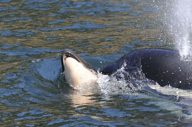 Orca J35, also known as Tahlequah, pushes her dead calf. (Ken Balcomb / Center for Whale Research)</p>