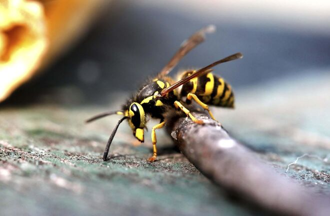 RUTH BONNEVILLE / WINNIPEG FREE PRESS</p><p>local - Wasps</p><p>A wasp stops to take a look at the camera while flying around a banana peal Wednesday.</p><p>See story on wasps.</p><p>Aug 18th, 2021</p>