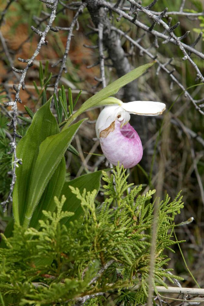 A showy lady's slipper orchid.