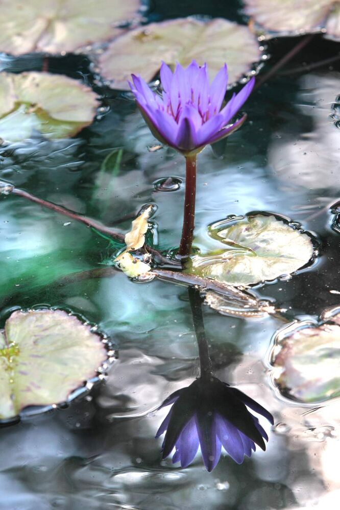 A water lily in full bloom is reflected in the pond at the Leo Mol Sculpture Garden Tuesday afternoon. September 11,  2012 (Ruth Bonneville/Winnipeg Free Press)