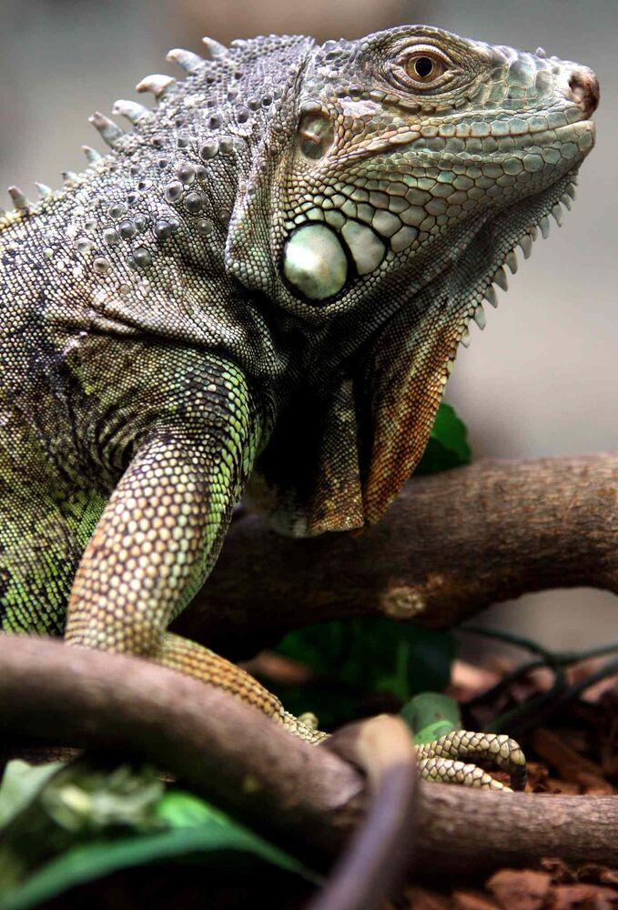 10. (g) any member of the family Iguanidae, including the green or common iguana. (CP)